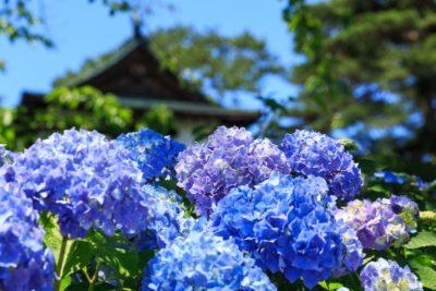 紫陽花とお寺