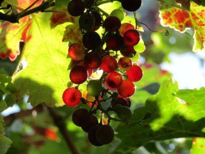 木になっているブドウ